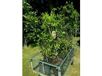 Pyracantha Evergreen Extra Large Hedging Shrub Flowers/Berries Plant 100cm/110cm Tall Potted