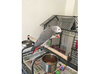 10month old African Grey Parrot *For sale*