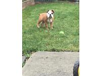 English bulldog male