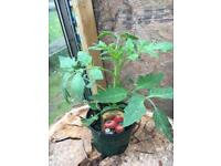 Tomato plants £2 each