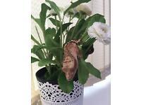 Crested geko and vivarium