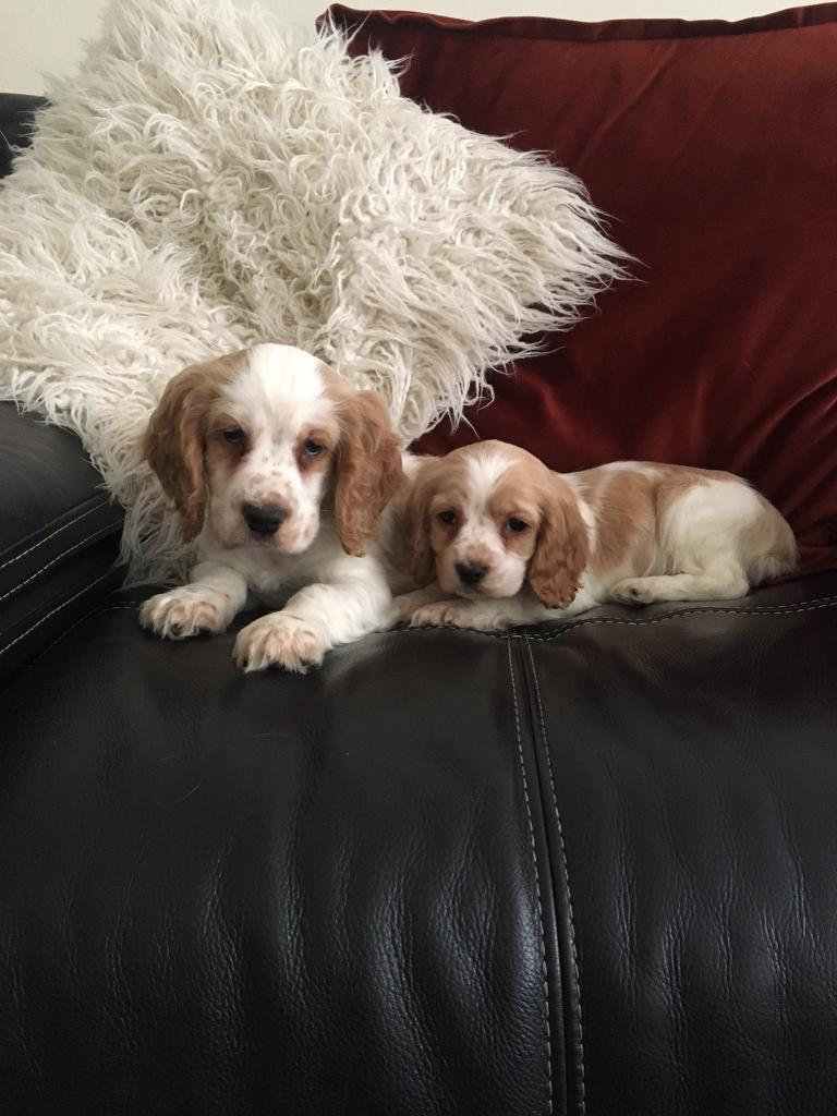 Gold and white cocker spaniels