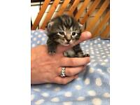 Abyssinian tabby mix kittens and black kittens
