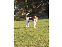 Beagle 12 months puppy Tri-colour Prince