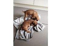 X2 male Jack Russell pups