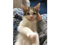 Half persian kitten for sale