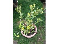 Euonymus plant