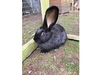 Giant Continental Male Rabbit For Sale
