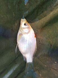3-5 inch pond fish. 50p each. Goldfish, comet and shubunkin mix. Around 30 available