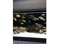 Malawi cichlids adult and young fish mbuna