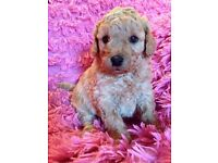 Stunning Red F1 Toy Cockapoo Puppies, Fn Pra Clear