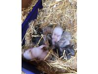 Gorgeous Litter of Baby Rabbits