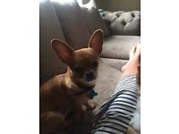 Chihuahua Boy Puppy 6 Months Old Lovey Dog