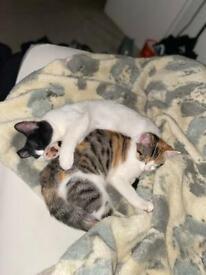 Two Beautiful kittens (Sisters)