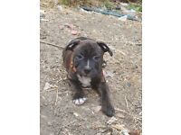 British bull dog x staffie puppies 4 left READY NOW! Must go