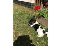Quality Tri Coloured Jack Russell Puppies