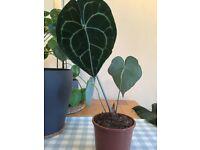 Anthurium Clarinervium Aroid Indoor House Plant Collection Only