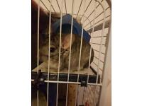 1 year old chinchilla for sale