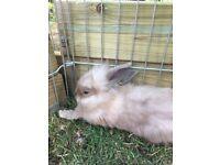 Extra fluffy lionhead bunny
