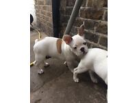 Awesome French bulldogs