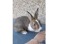 Netherland dwarf bunny