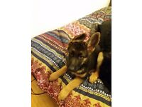 Black and Tan German Shepherd Dog (KC Registered)