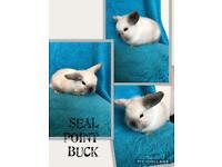 Pure bred mini lop buck