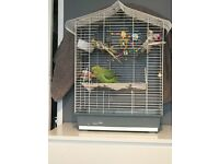 2 x cockatiels, 1 Indian ringneck parrot for sale