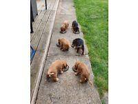 KC Heath Tested Show Type Cocker Spaniel Pups