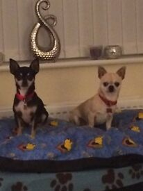 Two boy chihuahuas for sale!!