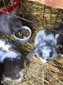 Beautiful mini lop rabbits ready now