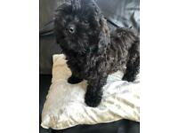 REDUCED ONLY ONE BLACK BOY REMAINING Beautiful litter of cavapoos/poodle/King Charles Cavalier