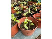 Sunflower plants all in pots