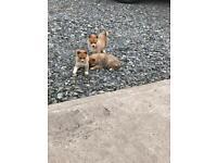 Pomsky or miniature husky pups