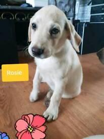 Beautiful Labrador girl puppy