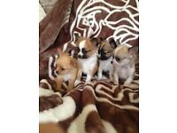4 lovely small full bred chihuahua pups