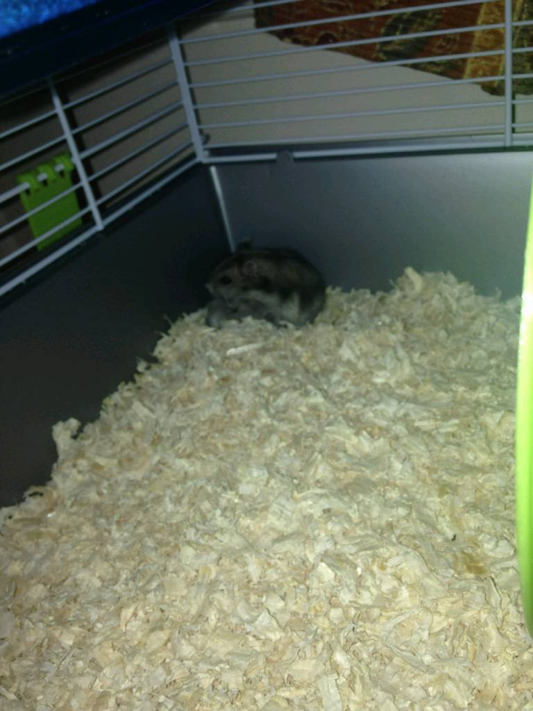 Two Hamsters - Bella and Pluto