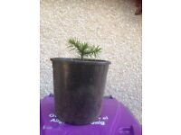 Monkey puzzle trees grown from seed
