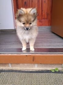 Pomeranian pedigree girl for sale