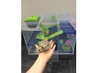 Baby 10 week old Syrian Hamster and Cage RRP£50 with accessories and ball