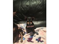 Russian Toy terrier puppies for sale ( not chihuahua)