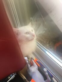 White Maine coon x Persian long hair cat