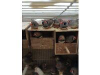 Beautiful zebra finches from 6 months to 15 months