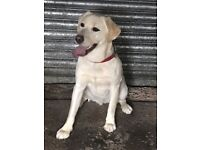 1 year old male golden labrador