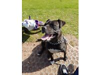 Loveable female staffy needs a forever home.