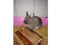 Netherlands Dwarf Doe Rabbit for sale, with accesories if desired