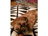 Last Gorgeous Shihchon Girl Puppy