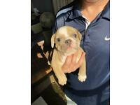 Only a week left just two girls to go Champion bloodlines olde English bulldogs