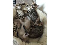 Bengal kittens TICA registered 2 girls 2 boys, beautiful markings- only 1 boy left !