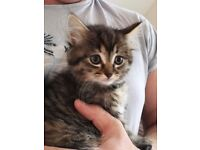 Fluffy longhaired kitten seeking forever home
